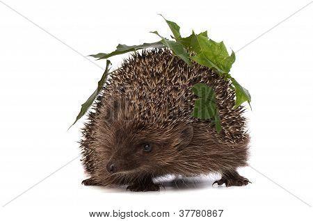 hedgehog with green leafs