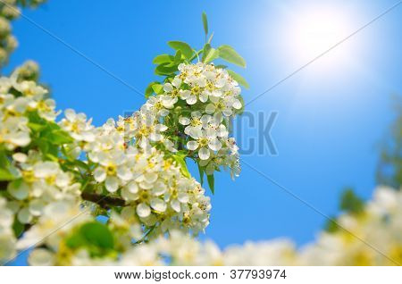 Pear Flowers Bloom Against A Blue Sky In Spring