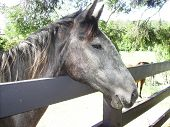 stock photo of guy fawks  - This is Peppy a brumby looking over the fence