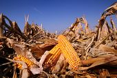 stock photo of corn stalk  - Corn field in autumn on a bright sunny day - JPG