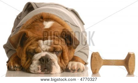 Bulldog Wearing Sweatsuit With Dumbell