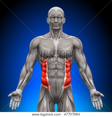 External Oblique - Anatomy Muscles