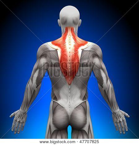 Trapezius - Anatomy Muscles