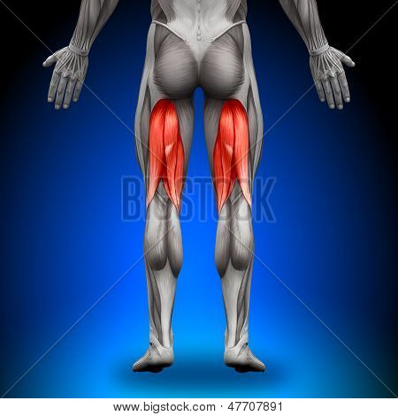 Hamstrings - Anatomy Muscles
