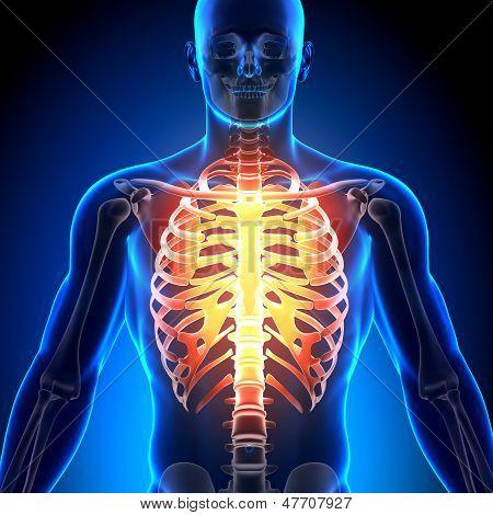 Caja torácica - huesos de la anatomía
