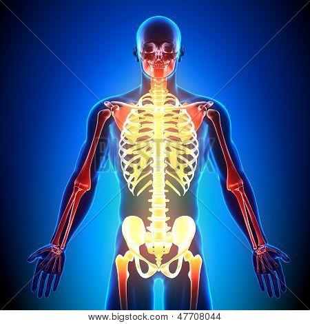 Esqueleto frente - los huesos de la anatomía