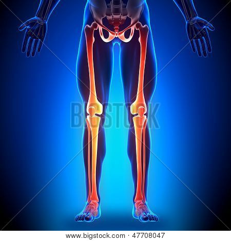Legs - Anatomy Bones