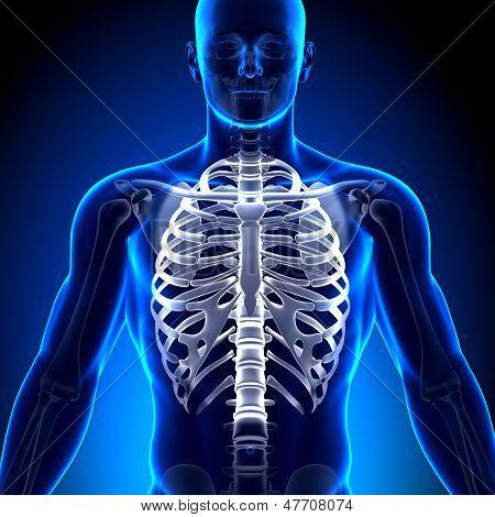 Costillas / esternón - huesos de la anatomía