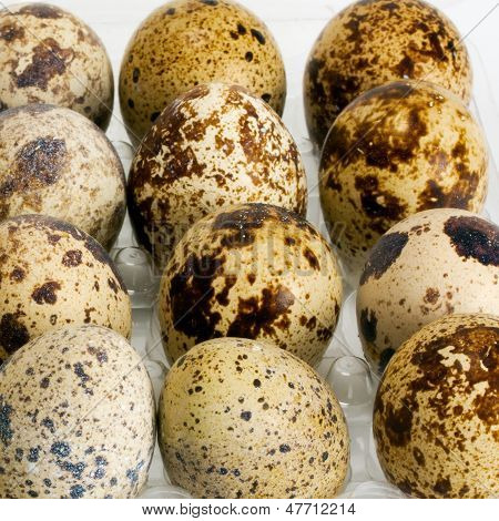 Egg Femail Quail