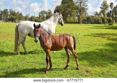 Riding school and breeding of thoroughbred horses. White horse with the foal. Green lawn for walking of Arabian horses