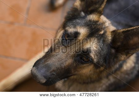 Beautiful Loyal German Shepherd