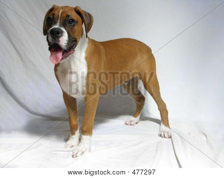 Standing Male Boxer