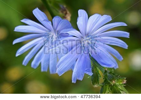 Close up Blue Chicory flower (Cichorium intybus)