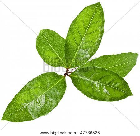 laurel tree branch with green leaves  isolated over white background