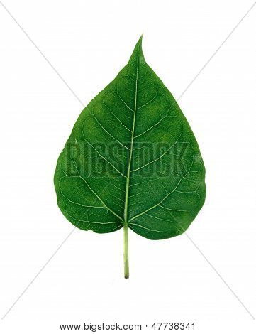 Bhodi Leaves