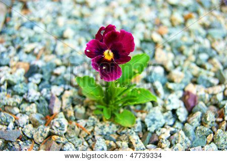 Flower pansy amongst stone