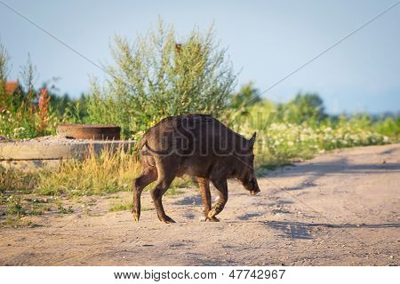 Wild boar on the path at residential area