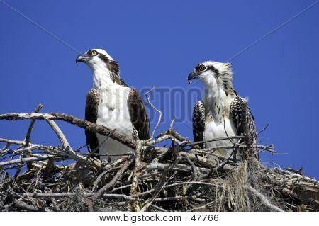 Águila pescadora en el nido