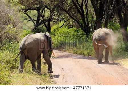 African elephants crossing