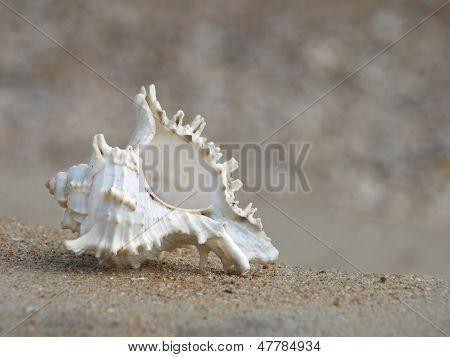Seashell On A Sandy Beach.closeup.
