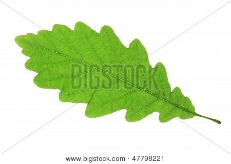 Oak leaf (Quercus robur)