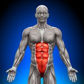 Abs - Anatomy Muscles