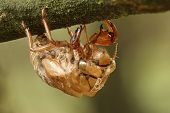 stock photo of exoskeleton  - Cicada Exoskeleton Clinging to a Tree Branch  - JPG