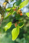stock photo of mulberry  - Mulberries growing on tree and developing at different stages - JPG