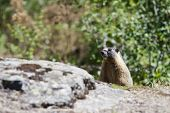 Small Marmot Behind Rocks.