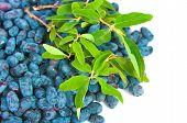 picture of honeysuckle  - The image of fresh honeysuckle berries background - JPG