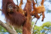 stock photo of malaysia  - Orangutan in the jungle of Borneo - JPG
