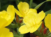picture of primrose  - yellow oenothera  - JPG
