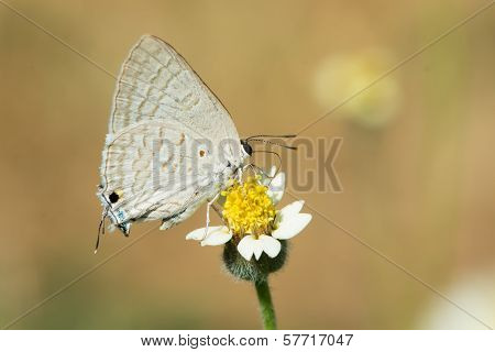 Common Brown Playboy Butterfly