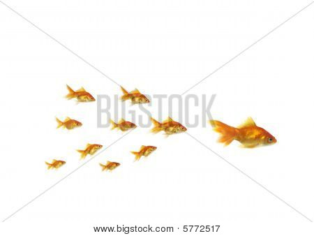 Following Shoal Small Gold Fish For Large