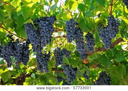 Large bunch of red wine grapes