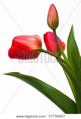 Red Tulips Close Up Isolated On White