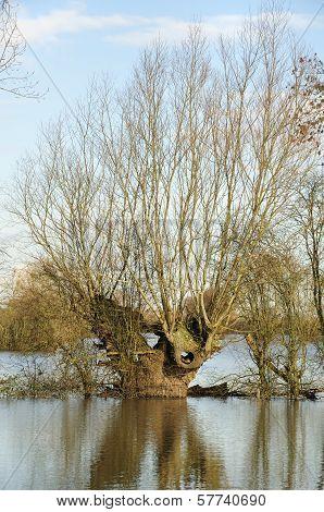 Pollarded Willow Tree in floods