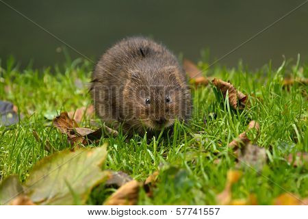 Water Vole On River Bank