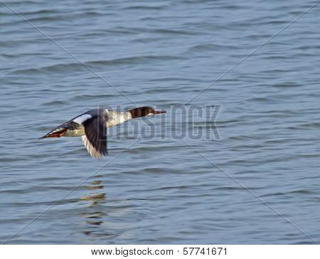 Goosander In Flight