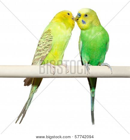Two Budgie Sit On A Perch