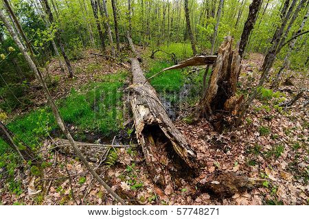 Forest In Spring With Fallen Tree