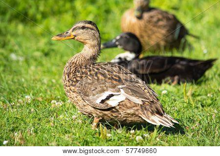 Brown Wild Duck (anas Platyrhynchos) On Green Grass