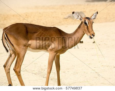 Antelope Standing On A Rocky Sandy Background