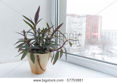 Potted Flowers On The Windowsill In A Pot. Setcreasea Purpurea.