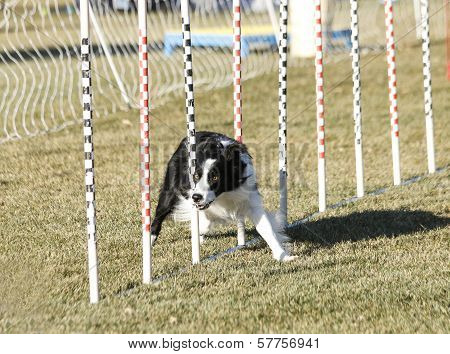 Border Collie doing weave poles