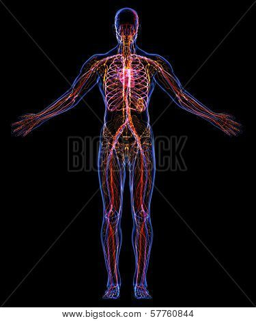 Human Circulatory And Lymphatic Systems