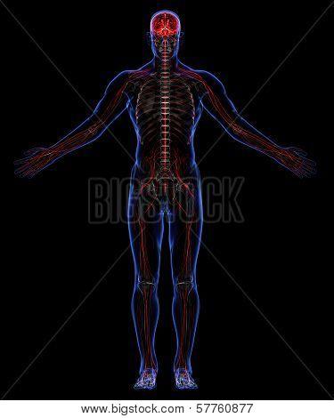 Human Skeleton And Nervous System