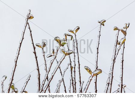 Group Of Twigs With Leaves Covered Engulfed With Deep Layer Of Ice