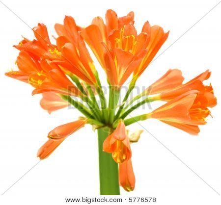Kaffir Lily Clivia Miniata Spring Flower