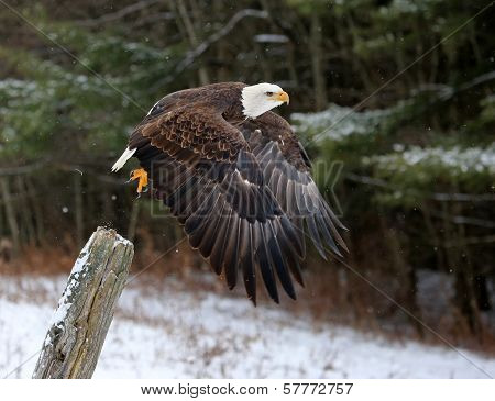 Bald Eagle Take-off